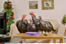 These turkeys have avoided the dinner table and instead will sit in front of the TV this Christmas