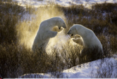 Canada Two spectacular 9ft polar bears wrestle in the snow