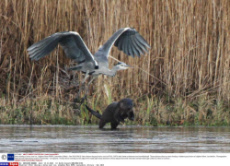 Otter chasing a heron over ice, Leighton Moss RSPB, Lancashire, Britain - Dec 2014