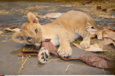 Lion cubs are a girl, a girl and another girl.