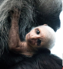 Young king colobus monkey