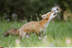 Canada Younf Fox playing with his food