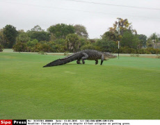 Florida golfers play on despite 13-foot alligator on putting green.