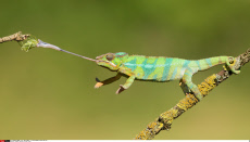 Hungry Chameleon catches dinner