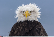 This eagle has a bad hair day