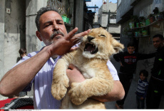 Man raises two lion cubs as pets in Rafah