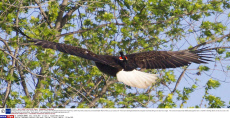 Redwinged blackbird rides eagle, Sterling, Illinois, America - 18 May 2015