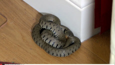 Terrified residents found snake napping at their home in Guildford, Surrey