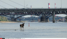 Warsaw A moose swims in the riwer in the middle of Poland's capital city