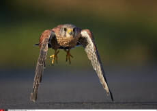 The kestrel millimetres from the ground.