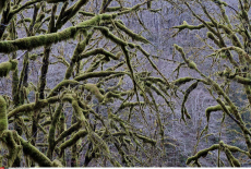 OR: Salmonberry River Moss Covered Trees
