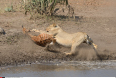 Hungry Lioness Pounces On Nyalas At Watering Hole
