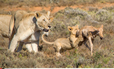Lioness teaches cub to hunt