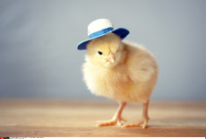 Chicks in Hats Series