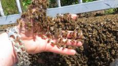 Man Plunges Hand In to Bees