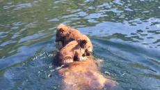 Cubs Ride On Swimming Bears Back