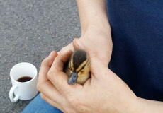Duckling trapped in a drain has been rescued just hours before death