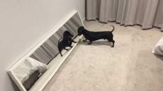 Dachshund Fights Own Reflection