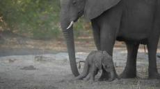 Baby Elephant Learns To Walk