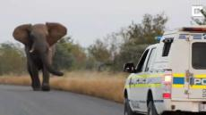 Elephant Charges At Wild Dogs