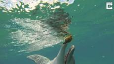 Dolphin Plays With Puffer Fish