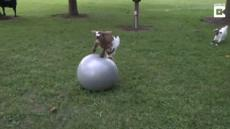 Fainting Goat Loves Ball