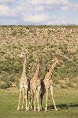 Southern Giraffe - three males - about to start