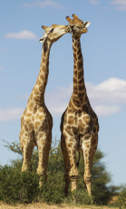 Southern Giraffe - two males - social contact -