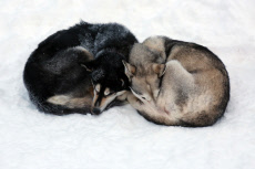?k_skero, Finland, Siberian Huskies sleeping curled up next to each other in the snow