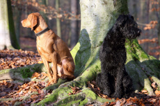 Berlin, Germany, Magyar Vizsla (left) and giant schnauzers sit on a tree facing away from each other in the woods