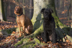 Berlin, Germany, Magyar Vizsla (left) and Riesenschnauzer sit attentively in the forest on a tree