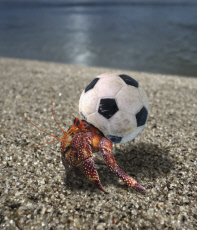 Hermit crab using a small plastic football ball
