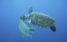 Sea turtle swallowing a plastic bag much like a