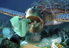 Sea turtle eating a detergent plastic bottle. Plastic