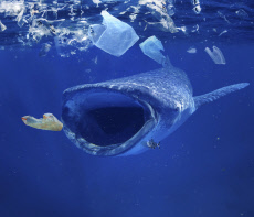 Whale shark, Rhincodon typus, feeding in the midle