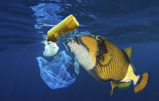 Titan triggerfish, Balistoides viridescens, eating