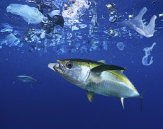Yellowfin tuna, Thunnus albacares eating a styrofoam