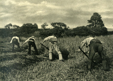 Reapers at work with scythes, Isle of Wight