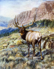 Red Deer Stag by E Caldwell