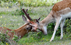 A young deer tries to help another after twine becomes tangled in its antlers