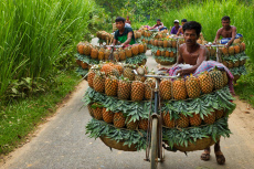 Farmers master the art of balancing more than 100 pineapples on bicycles as they transport them to a market
