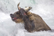 BEAR LOSES ITS CATCH