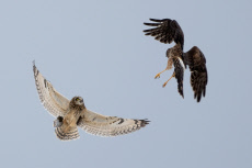 OWL VS HARRIER