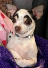 DOG WITH EYEBROWS
