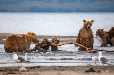BEAR FIGHTS TO PROTECT CUBS