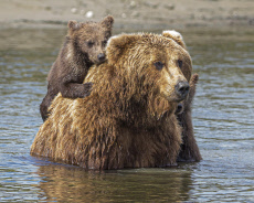 BEAR CUBS CLIMB ON MOM