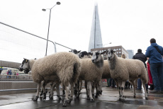 BRITAIN-LONDON-SHEEP DRIVE ACROSS LONDON BRIDGE