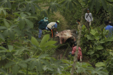 Indonesia: Death of Female Sumatran Elephant due to Snare in Bengkalis