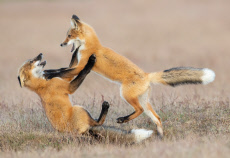 A pair of fox cubs get to grips with each other as they play fight