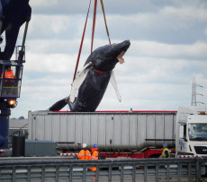 'Hessy' the Humpback whale found dead in the River Thames, Kent, UK - 09 Oct 2019